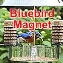 bluebird suet