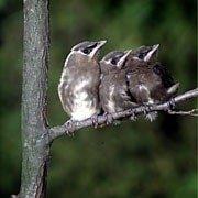 baby cedar waxwings