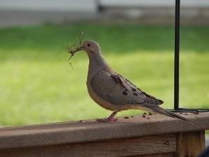 Dove Building Nest