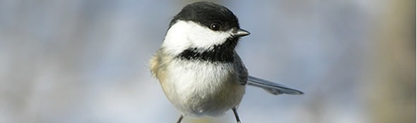 Check Out These Ideas For Attracting Chickadees