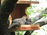 female dove and squab baby