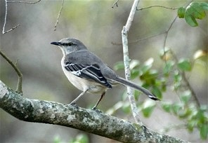 mockingbird singing at night
