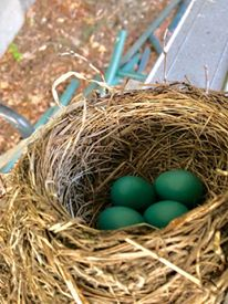 Momma built the nest on our ladder; the eggs
