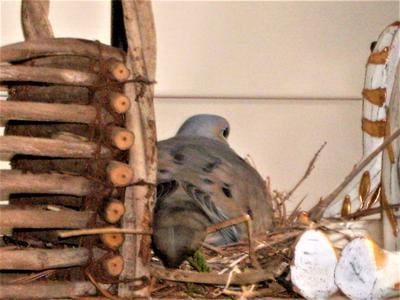 Dove Nest on Glass Shelf