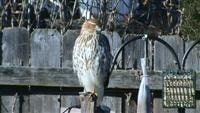 hawks on bird feeders