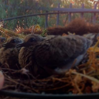 baby mourning doves - 7 days old