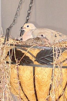 Parent dove and babies