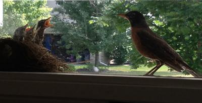 Baby Robins and Momma