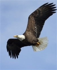 Bald Eagle Soaring in Flight