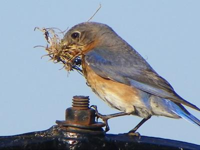 Making a nest, checking it twice.....