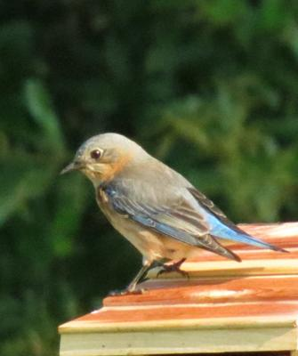Original female Bluebird