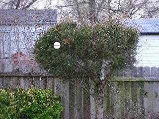 nest site in cedar tree