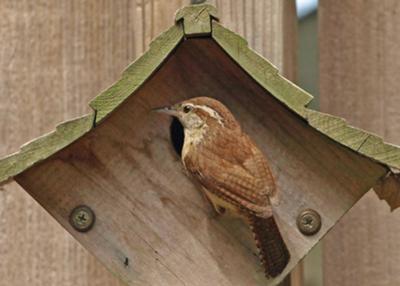 Barn Swallow, Doves, Roins Backyard Bird Stories