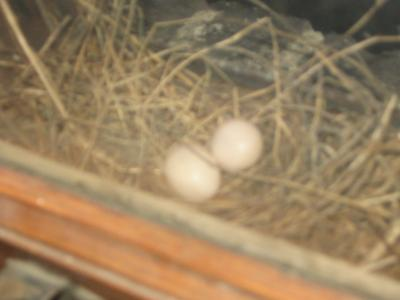 Two Dove Eggs
