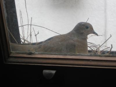 Dove On Nest/Eggs