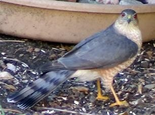 Cooper's Hawk on Ground