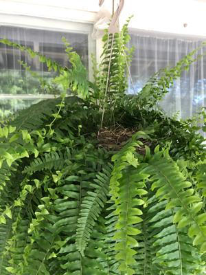 In my fern plant, on my front porch