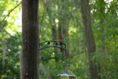 Eastern Bluebird a Welcomed Distraction