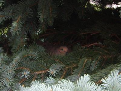 Mourning Dove On Nest Of Two Eggs In Evergreen Tree