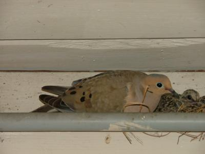 071211 adult and baby doves