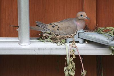 Mourning Dove on a ladder