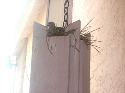 Dove Nesting In Hanging Light On Porch