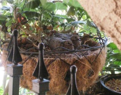 Doves Nesting in Hanging Plants