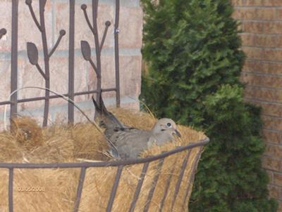 Doves Nesting In Plant Hanger On Front Porch