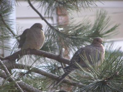 Pair of doves in front tree in Feb. Looks like a coy mother in the background?