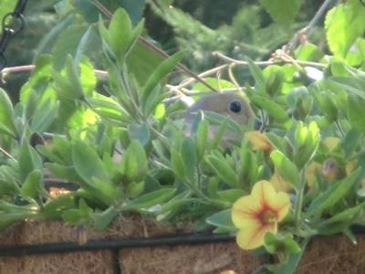 Sweet Dove Nesting