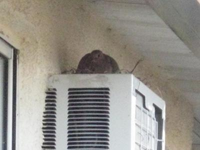 Dove's nest on A/C Unit