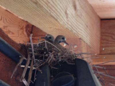 Doves nesting on patio - Worried about Crows