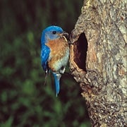 bluebird at nesting cavity