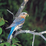 Read Species Accounts Like Blue Birds