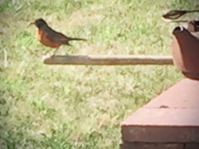 Watchful papa robin is keeping an eye on the fledglings -and me!