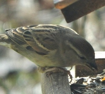 House Sparrows Their Mating Nesting And Feeding Habits