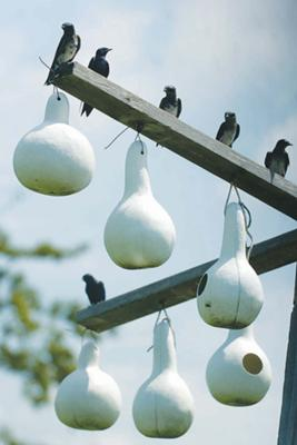 Martins perch over the nesting gourds on July 20. Our first colony of purple martins.