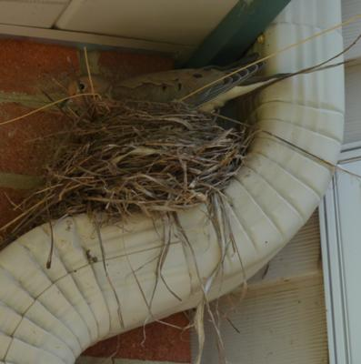 Dove Nest on Downspout