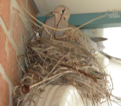 Dove on The Nest