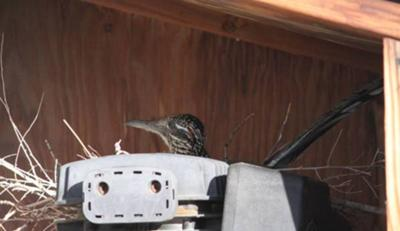 Big bird and her nest!
