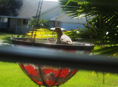 Dove Nesting
