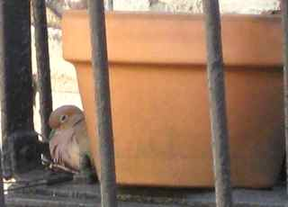 Henny, (I think) sitting on the nest next to the flower pot on the sixth-floor fire escape in NYC.