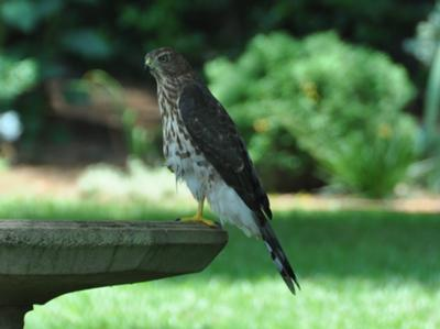 Hawk on our bird bath
