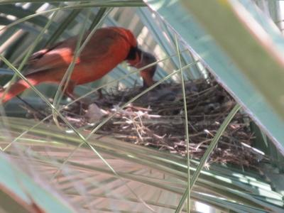Father Cardinal feeding babies