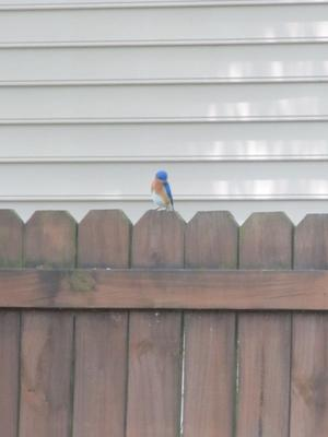 Bluebird watching high above