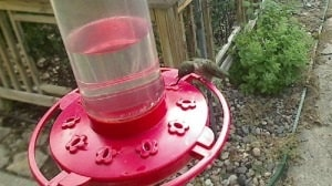 Ruby-throated hummingbird on feeder