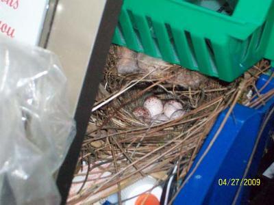 Close Up Of Wren Nest