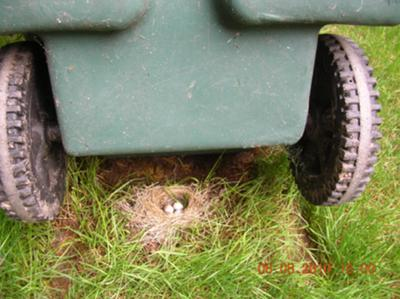 Junco Under the Garbage Can