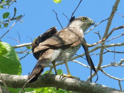 Is this a juvenile Cooper's Hawk?