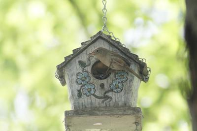 House Wren at  (bird house) nest 2013